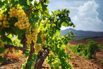 Badacsony szőlő